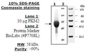 Pyruvate kinase M2 Active from mouse recombinant