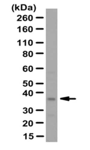 Anti-C-type lectin-like domain family 1 (CLECL1) Antibody
