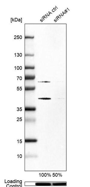 Anti-SKP2 antibody produced in rabbit Prestige Antibodies