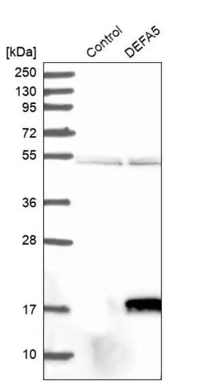Anti-DEFA5 antibody produced in rabbit Prestige Antibodies