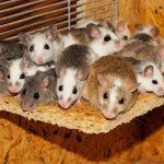 mice at home