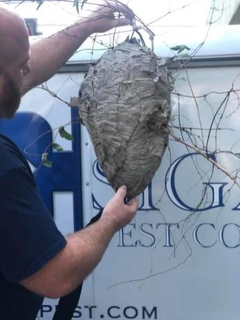 hornets nest sigma pest control
