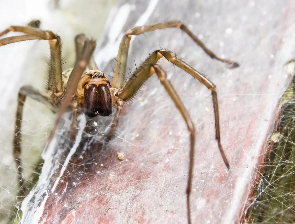 spider sigma pest control