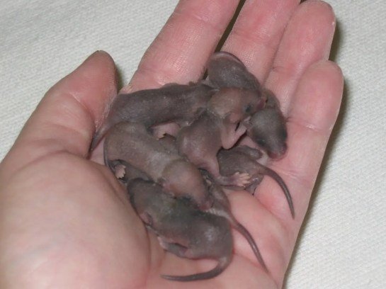 baby-mice-in-hand-1390799-1280x960