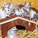 house mice sigma pest control