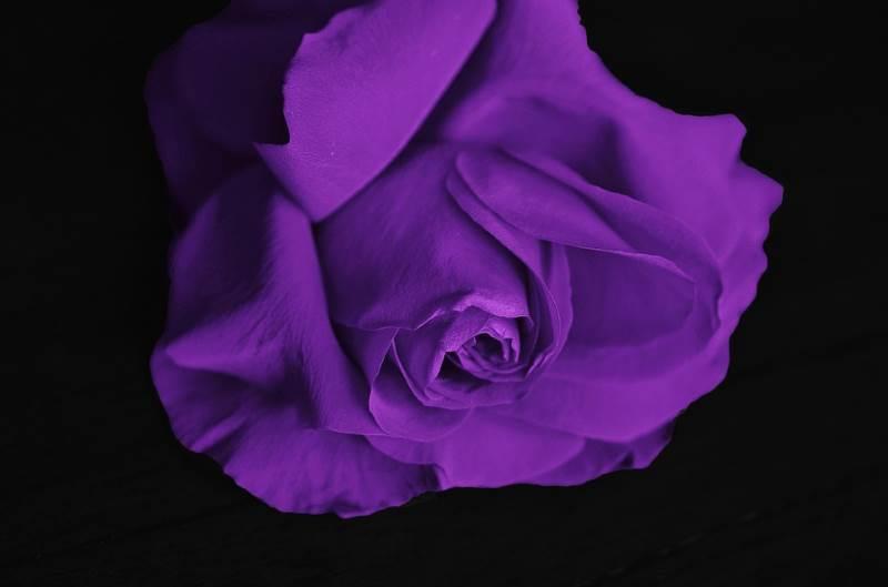 ejemplo del color purpura