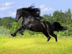 los caballos con pelaje de color azabache son muy bellos