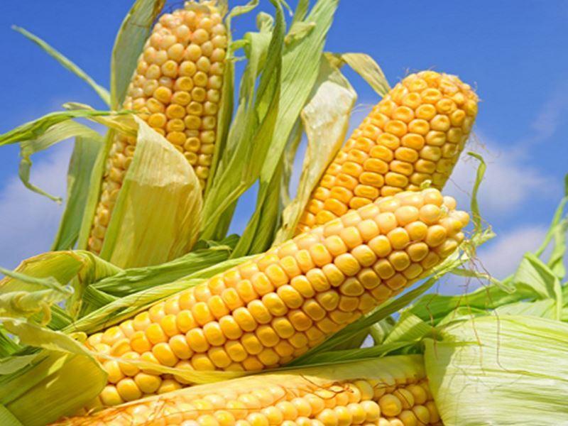 el maiz da nombre a esta variedad del color amarillo
