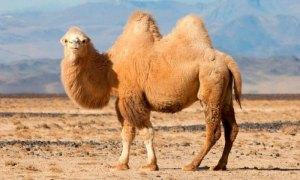 este animal llamado camello da nombre a este color
