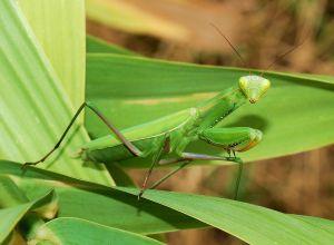 la mantis es un insecto que da nombre a este color