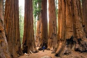 los árboles llamados secuoyas dan nombre a este color