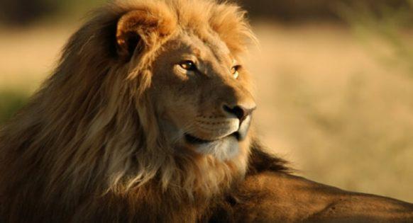 ▷ Sonhar com Leão -【IMPERDÍVEL】