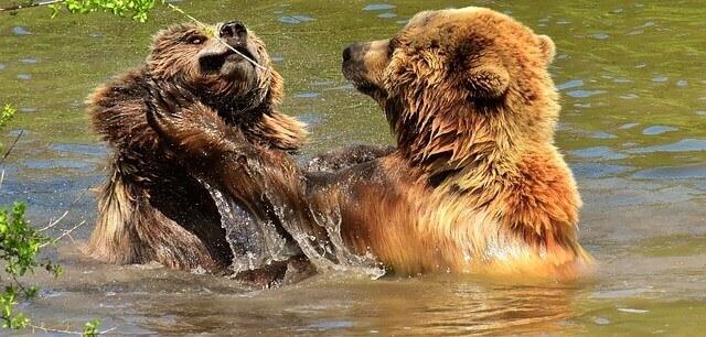 urso brigando