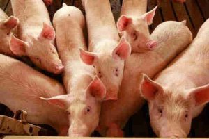▷ O que Significa Sonhar com Porco?【IMPERDÍVEL】