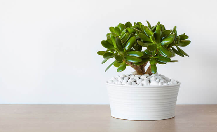 A Planta Do Dinheiro: Aprenda a Cultivar e a Cuidar Dela