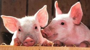 ▷ Sonhar Com Porco 【Número Da Sorte】