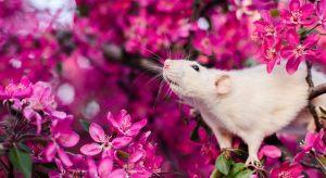 ▷ Descubra o Significado Espiritual De Ratos Em Casa