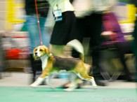 Beagle Narva näitusel jooksu demonstreerimas