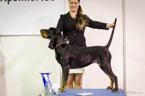 Junior BIS, 2nd place, Coonhound