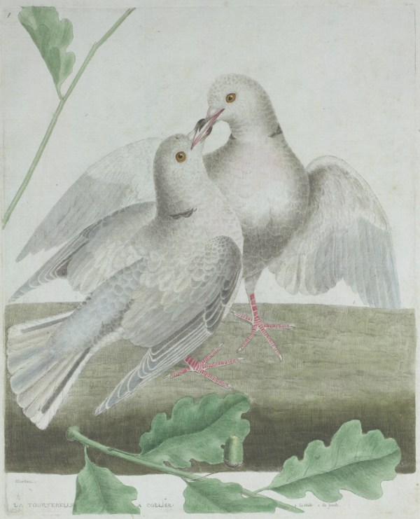 Two Turkey Doves . Smithsonian Libraries Unbound