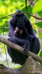 Black Macaque in Tangkoko NP