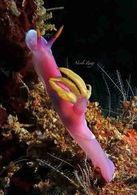 Nudibranch_Hypsedoloris bullockii