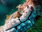 Nudibranch_Phyllidiopsis shireenae
