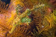 ghostpipefish yellow-2493