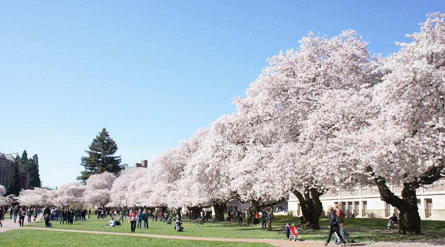 uw_cherry_blossoms2