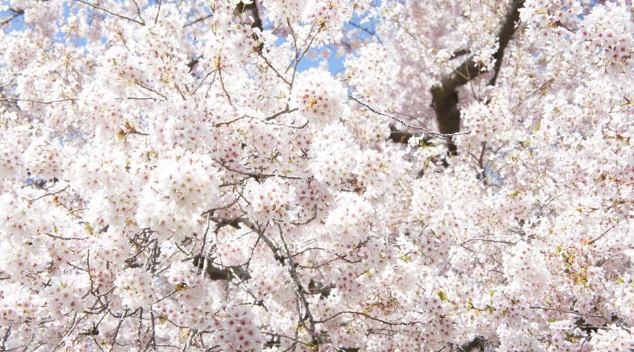 uw_cherry_blossoms8