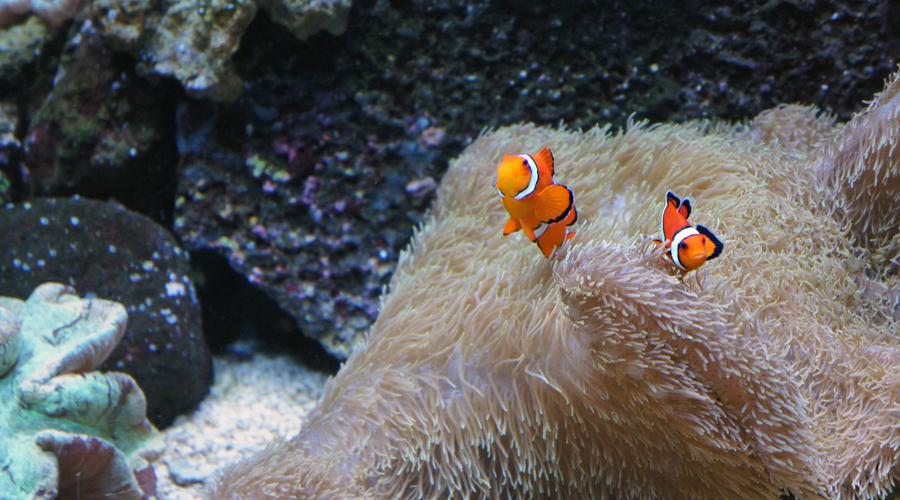 05-seattle-aquarium-clown-fish
