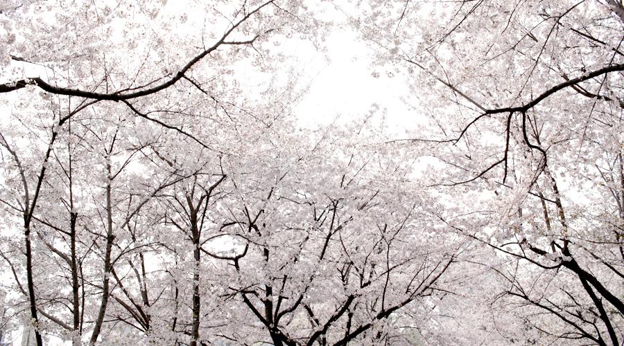 2015-04-09-korea-seoul-jamshil-seokchon-lake-cherry-blossoms-01