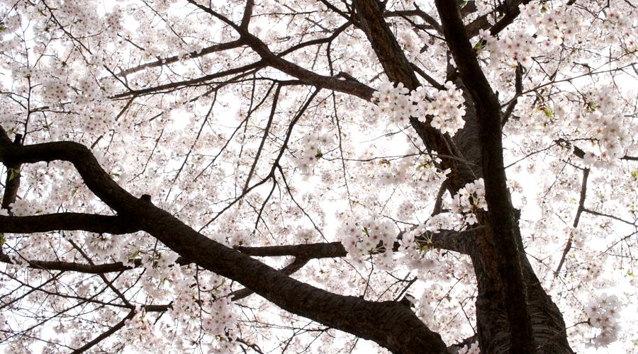 2015-04-09-korea-seoul-jamshil-seokchon-lake-cherry-blossoms-10