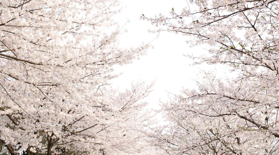 2015-04-09-korea-seoul-jamshil-seokchon-lake-cherry-blossoms-13