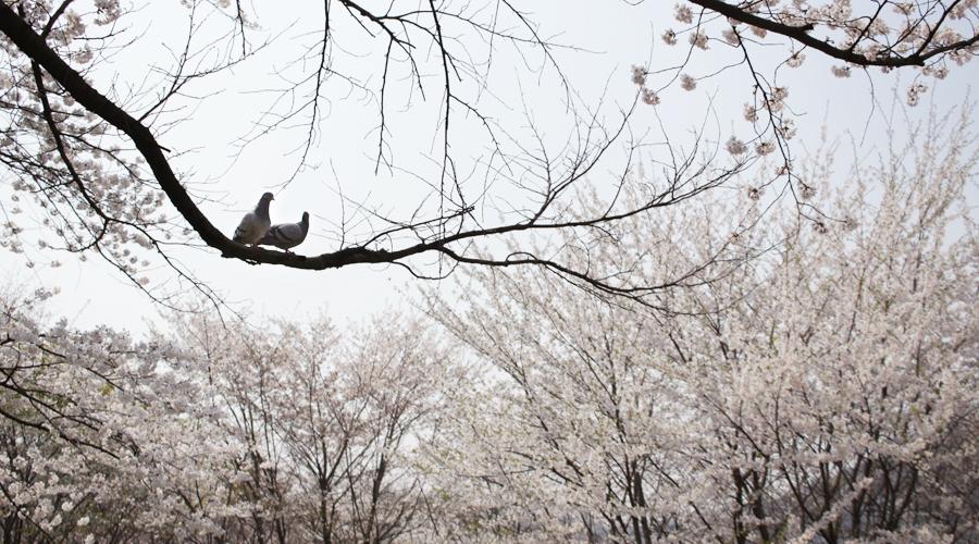 2015-04-11-korea-seoul-ansan-cherry-blossoms-01