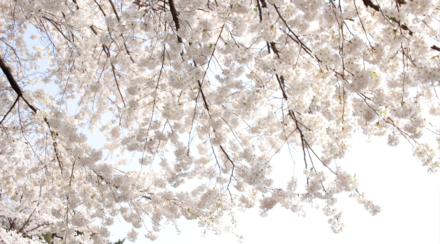 2015-04-11-korea-seoul-ansan-cherry-blossoms-07