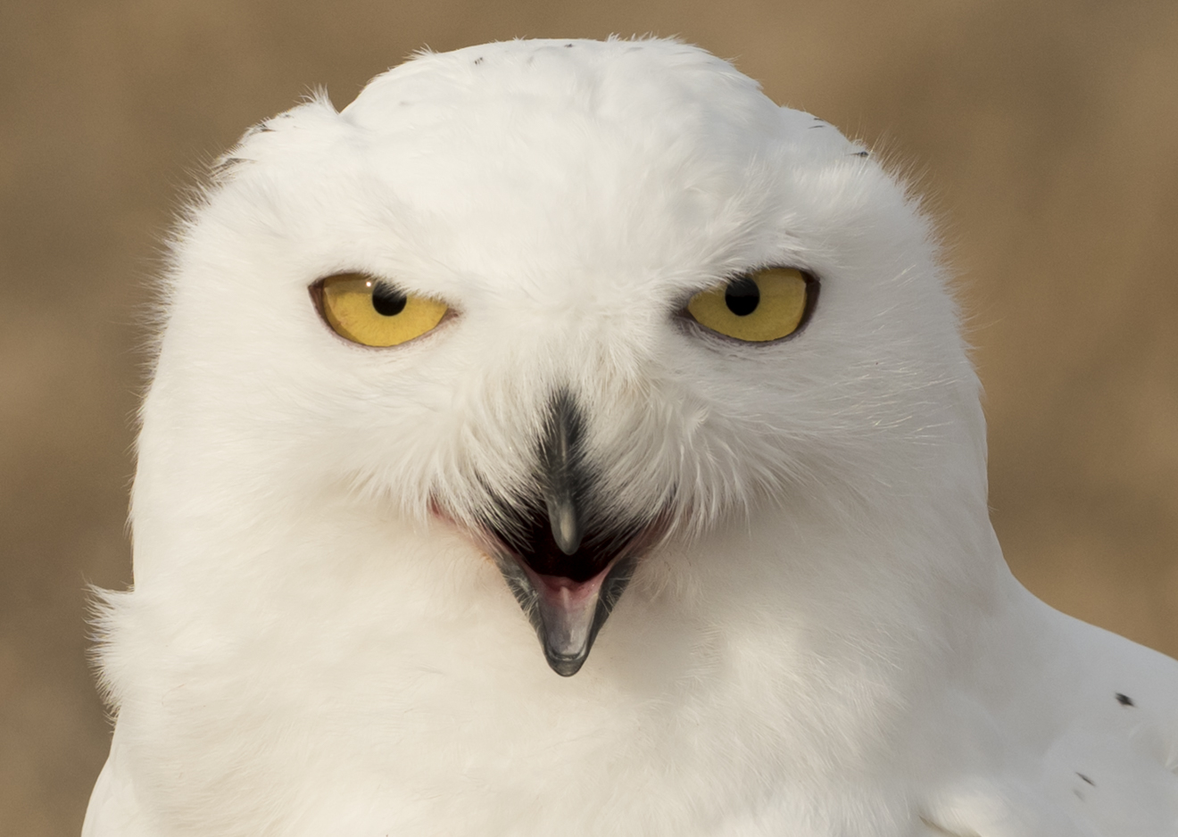 "Snowy Owl, ""Oz"". Photo © Warren Green."