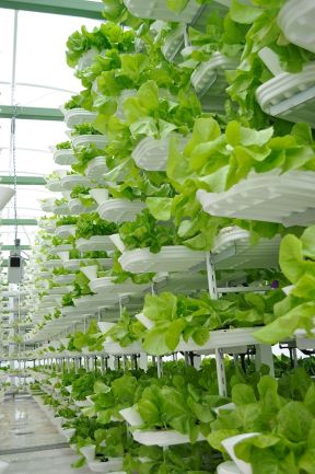 Lettuce grown in indoor vertical farming system