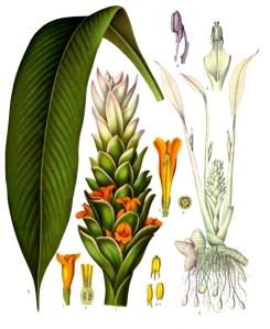 Curcuma longa, better known as Turmeric