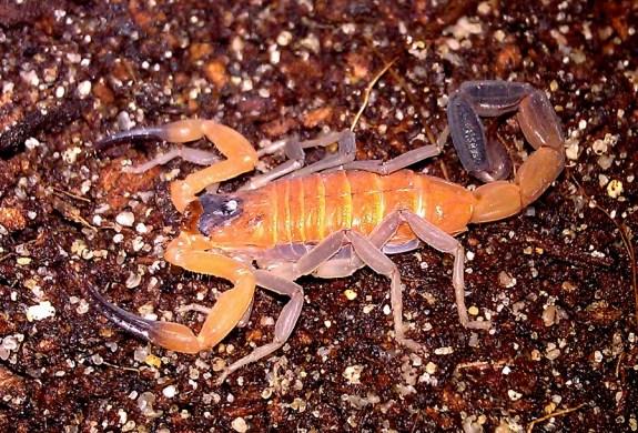 Rhopalurus junceus also known as the Caribbean Blue Scorpion