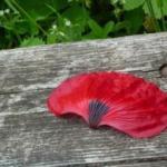 Blütenblatt Klatschmohn