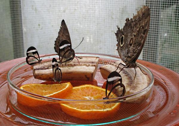 Schmetterlinge mit durchsichtigen Flügeln