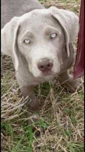 Silver Labrador Retriever