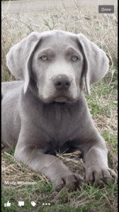 Male Silver Labrador