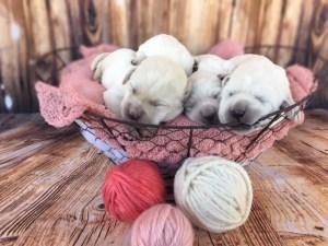 3 White Lab Puppies