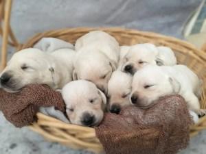 White Labrador Retriever Puppies for Sale