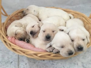 Available White Lab Puppies for Sale