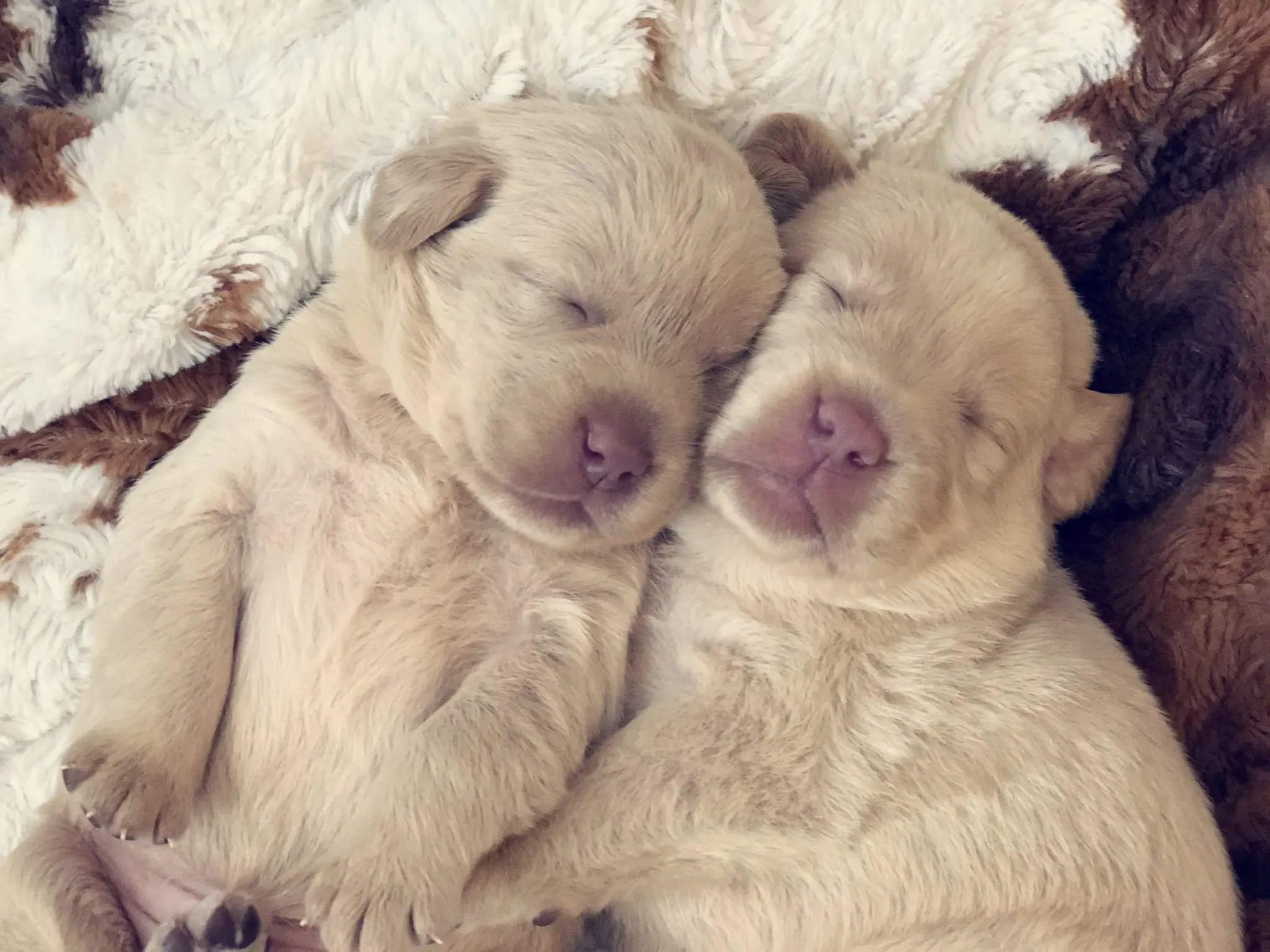 sleeping-labrador-pups