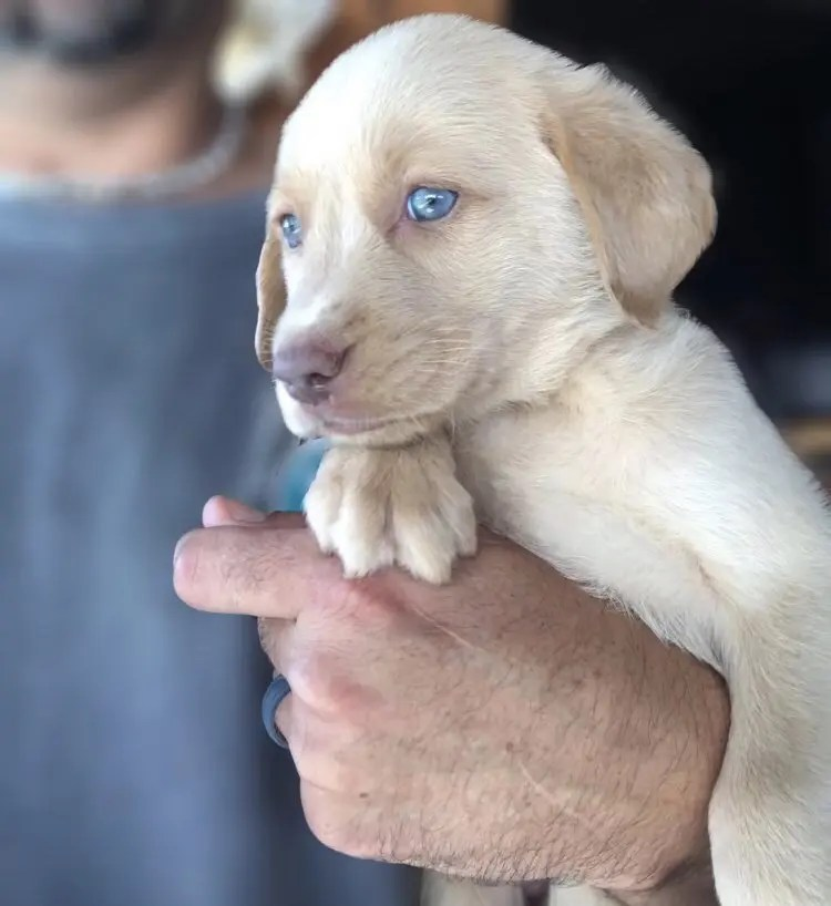 Champagne Lab Puppies for Sale | Silver and Charcoal Kennels