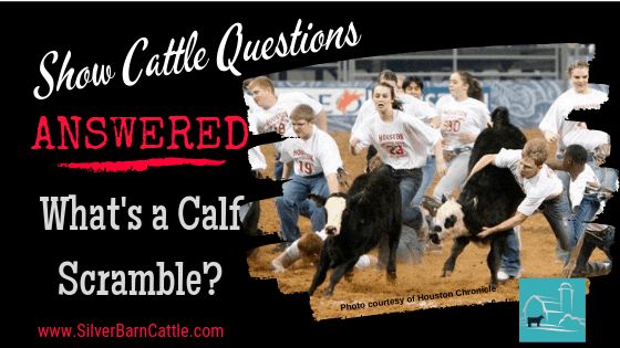 Show Cattle Questions Answered: What's a Calf Scramble?